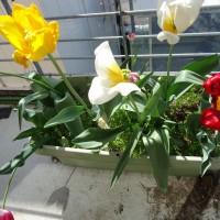 チューリップが咲きました(^^)v